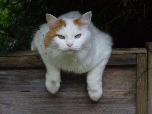 gato-grande-raza
