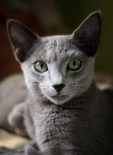 gato-gris-raza