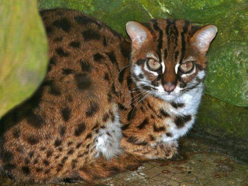gato-leopardo-asiatico-salvaje