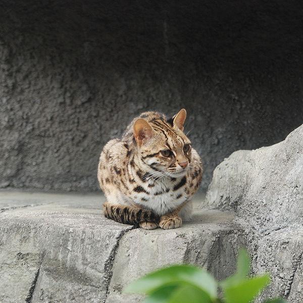 gato-leopardo-asiatico