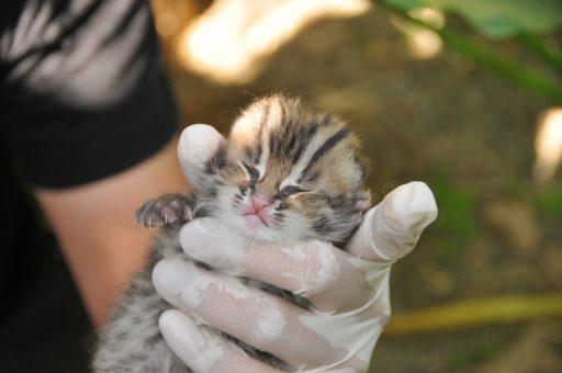 gato-leopardo-bebe