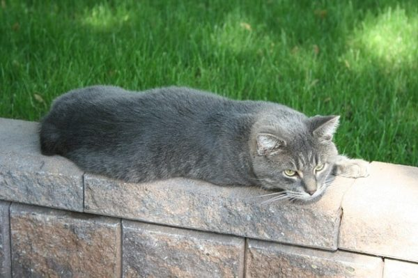 gato-manx-gris