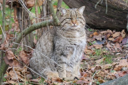 gato-montes-europeo