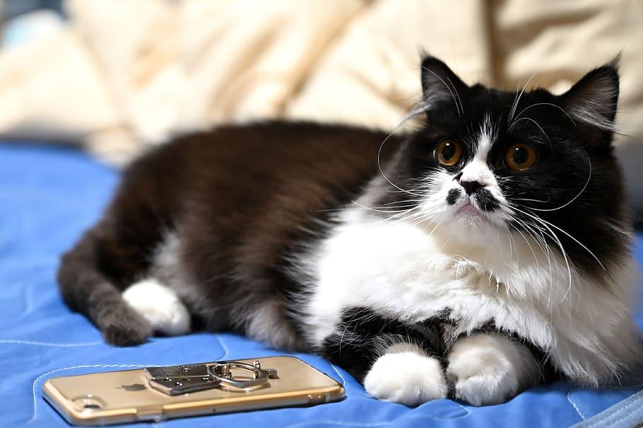 gato-napoleon