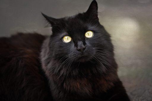 gato-negro-angora-turco
