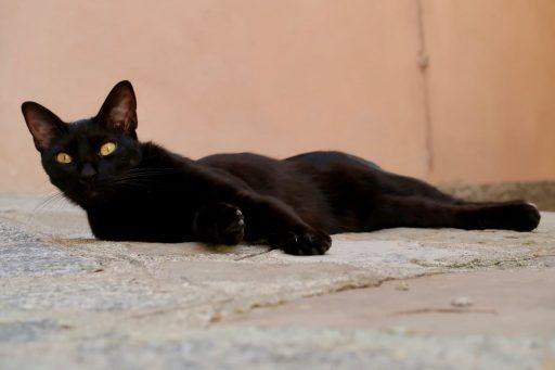 gato-negro-bombay