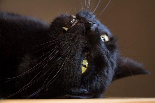 gato-negro-egipcio