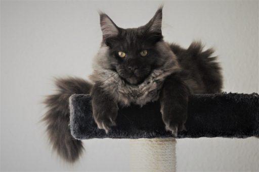 gato-negro-maine-coon