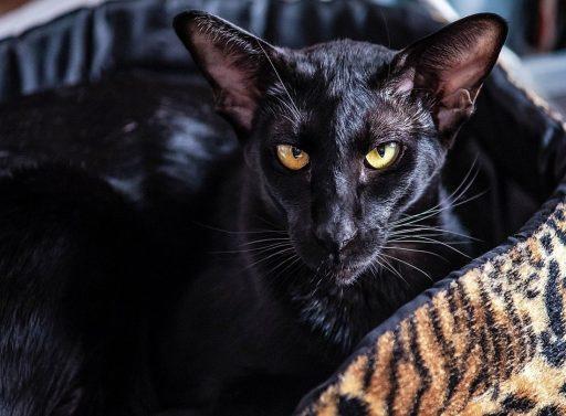 gato-negro-oriental