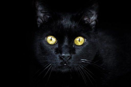 gato-negro-raza-bombay