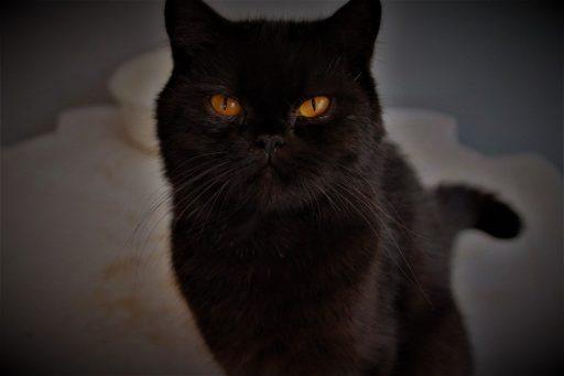 gato-negro-raza-persa