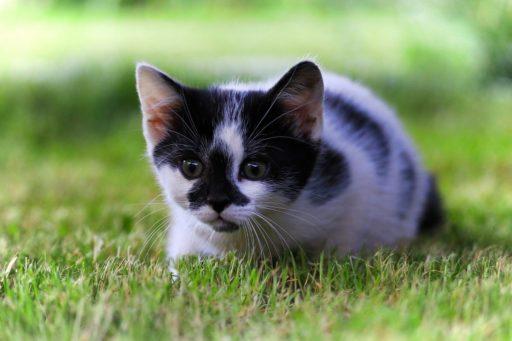 gato-negro-y-blanco