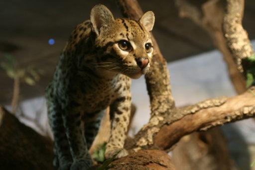gato-ocelote