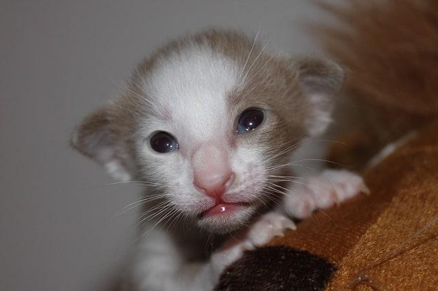 gato-oriental-bebe