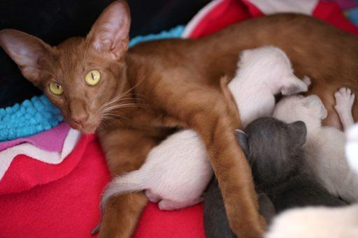 gato-oriental-precio