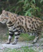 gato-patinegro