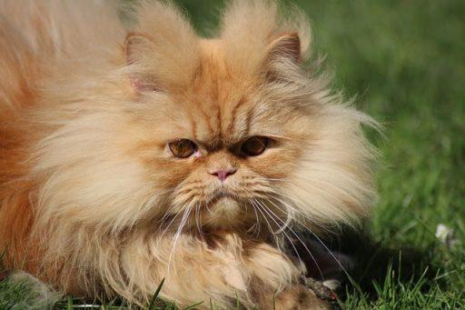 gato-persa-americano
