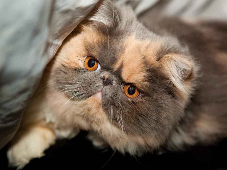 gato-persa-americano-exotico