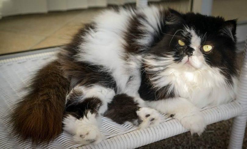 gato-persa-himalayo