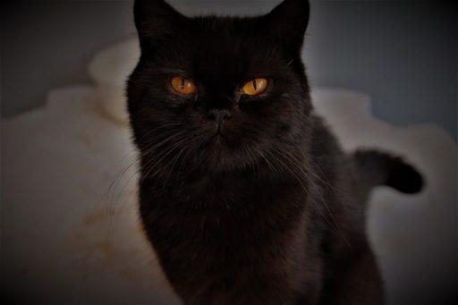 gato-persa-negro