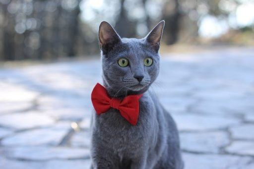 gato-raza-azul-ruso