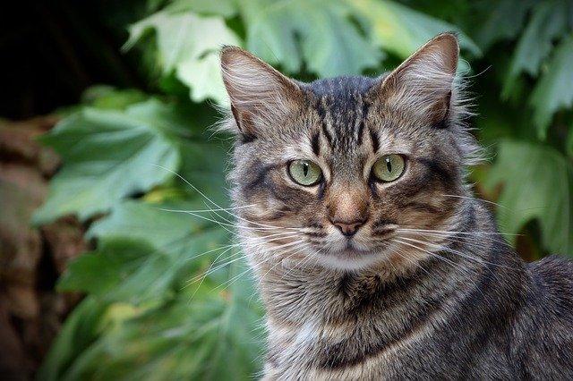 gato-romano-atigrado