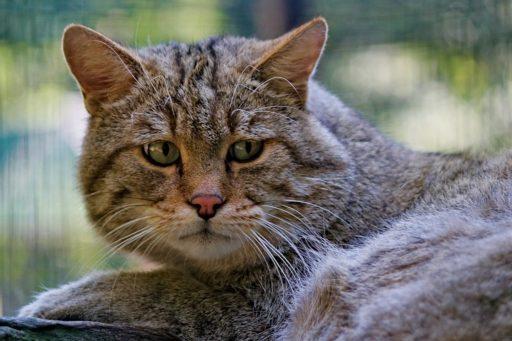gato-salvaje