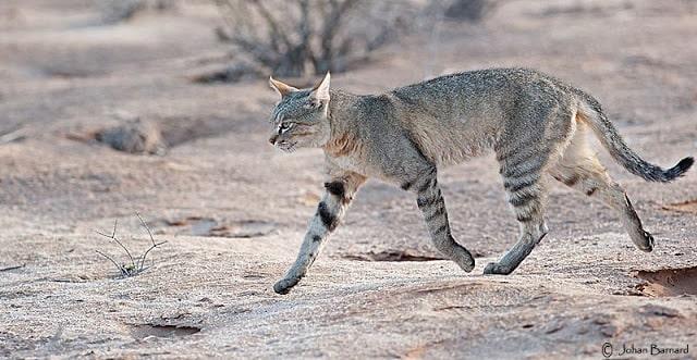 gato-salvaje-africano
