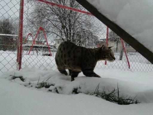 gato-savannah-f3