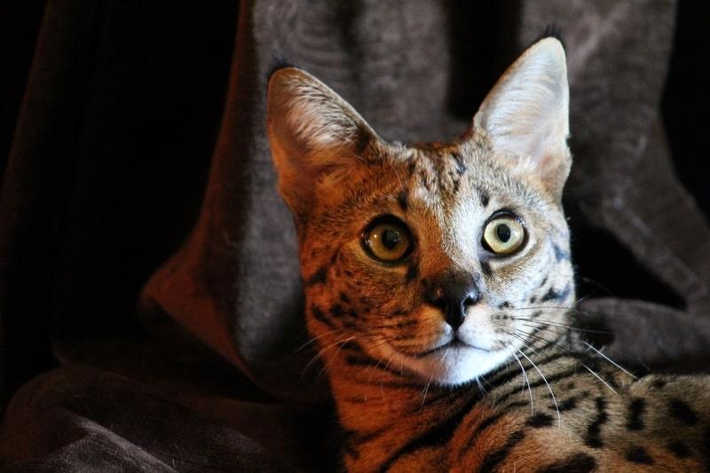gato-savannah-precio