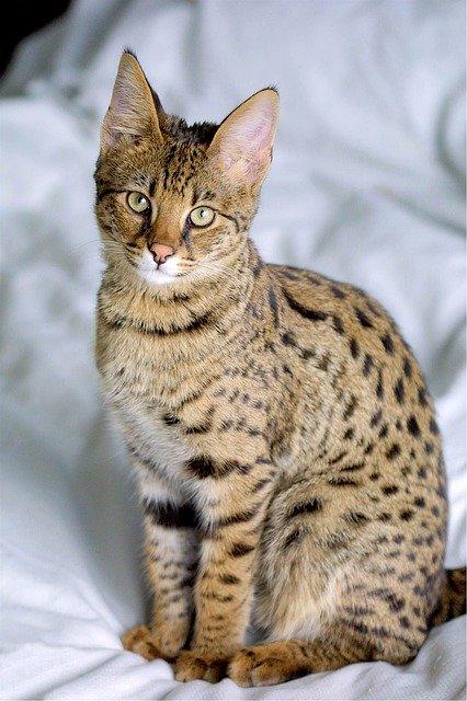 gato-savannah-tamaño
