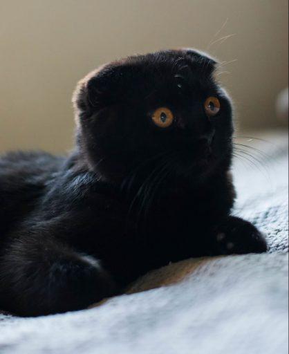 gato-scottish-fold-negro