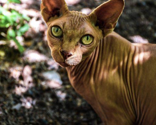 gato-shpynx-precio