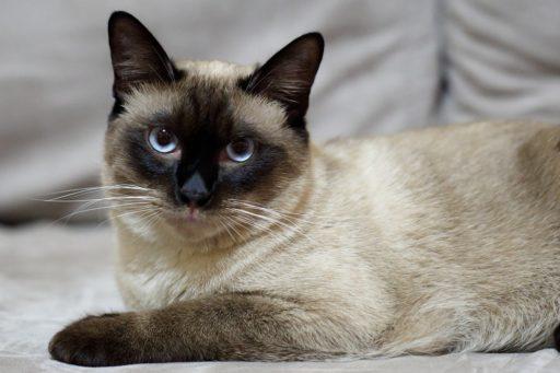 gato-siames