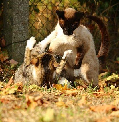gato-siames-caracter