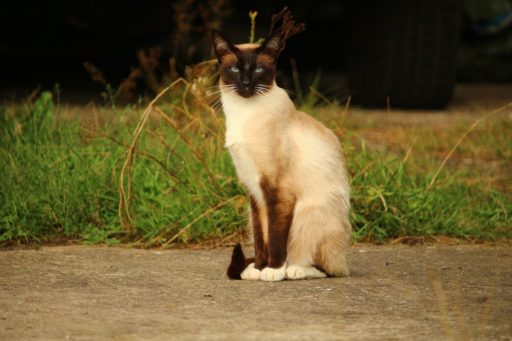 gato-siames-moderno