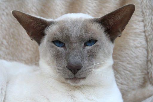 gato-siames-oriental