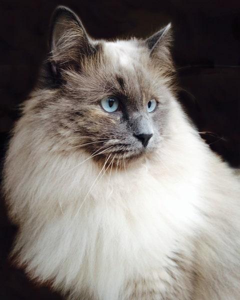 gato-siames-pelo-largo