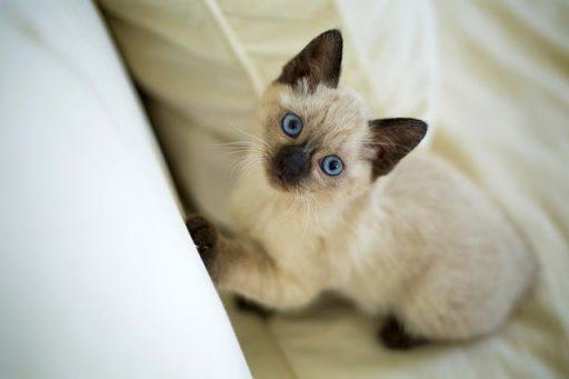 gato-siames-thai