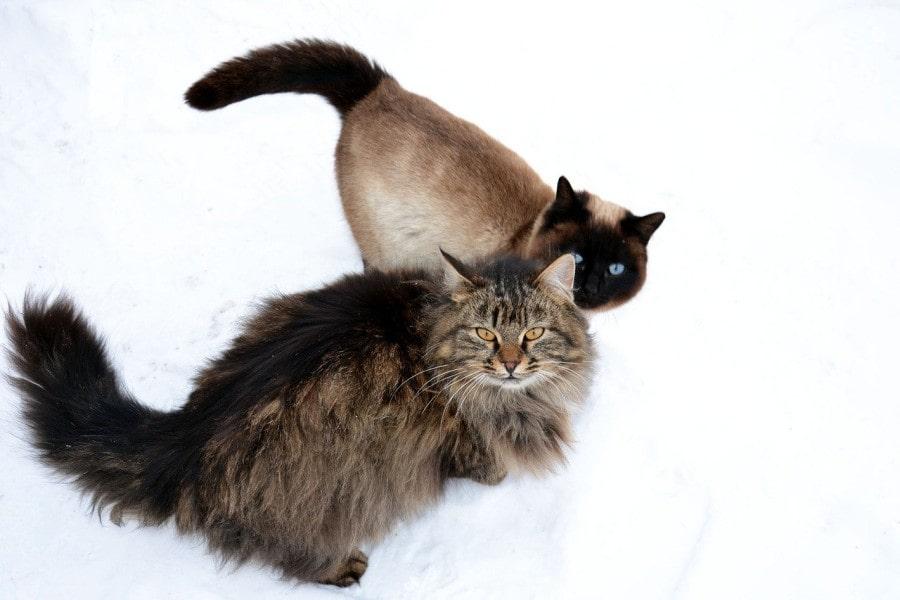 gato-siames-y-siberiano