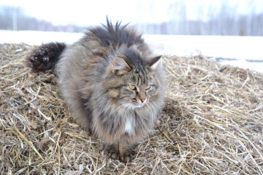 gato-siberiano-alergia