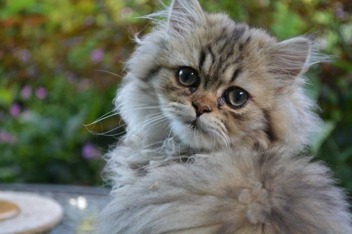 gato-siberiano-bebe