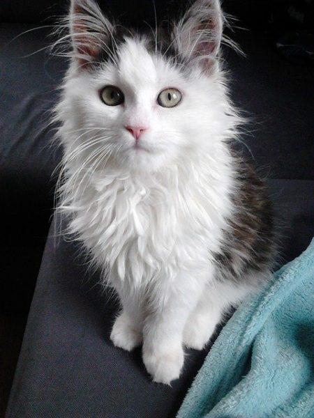 gato-siberiano-blanco