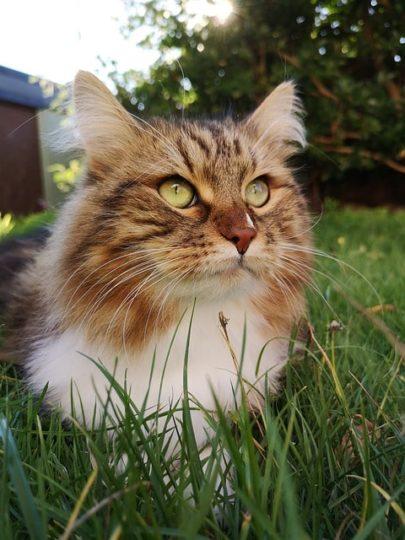 gato-siberiano-cachorro