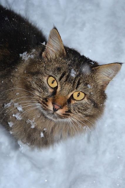 gato-siberiano-grande