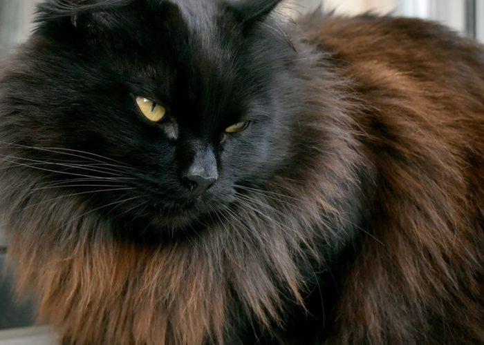 gato-siberiano-negro
