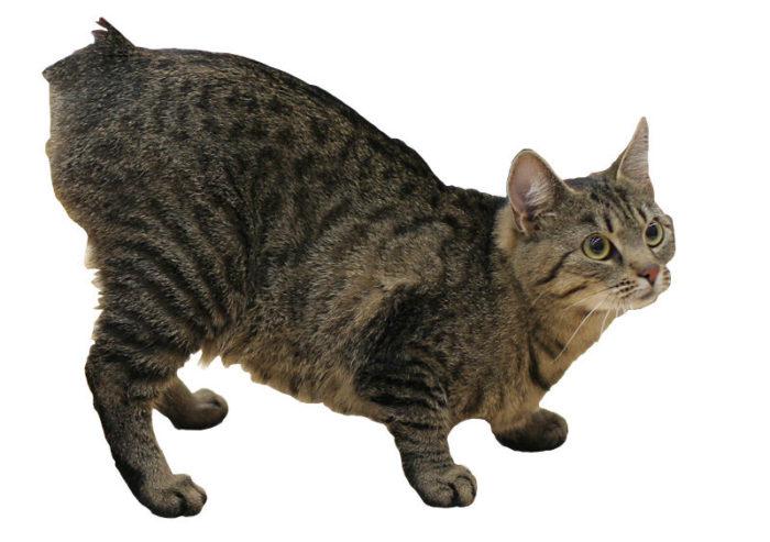 gato-sin-cola