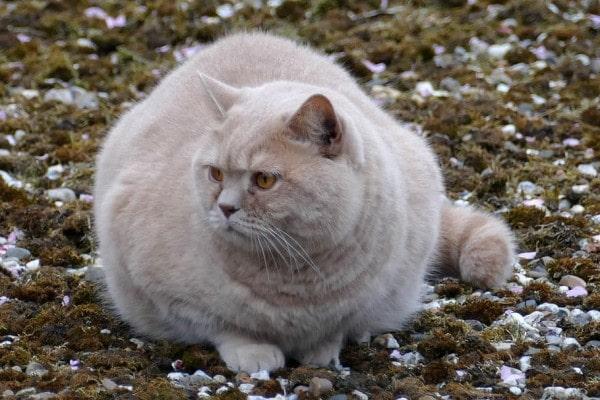 gato-sobrepeso