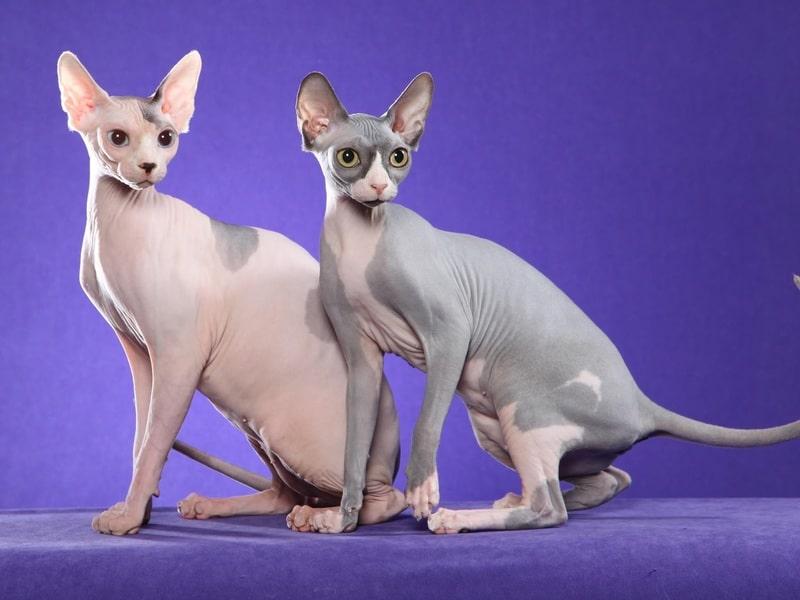 gato-sphynx-adopcion