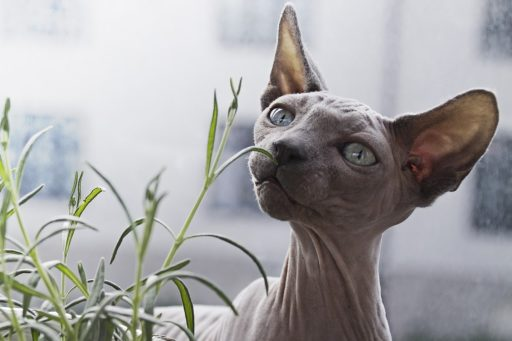 gato-sphynx-comprar